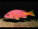 Blackfin Snapper - Snapper<br>(<i>Lutjanus buccanella</i>)