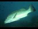 Cubera Snapper - Snapper<br>(<i>Lutjanus cyanopterus</i>)
