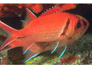 Blackbar Soldierfish - Squirrelfish<br>(<i>Myripristis jacobus</i>)