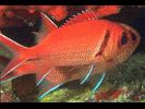 Blackbar Soldierfish - Squirrelfish<br>(<i>Myripristis jacobus</i>)
