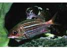 Dusky Squirrelfish - Squirrelfish<br>(<i>Sargocentron vexillarium</i>)