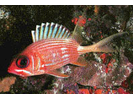 Longspine Squirrelfish - Squirrelfish<br>(<i>Holocentrus rufus</i>)