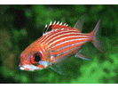 Reef Squirrelfish - Squirrelfish<br>(<i>Holocentrus coruscus</i>)