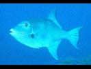 Ocean Triggerfish - Triggerfish<br>(<i>Canthidermis sufflamen</i>)