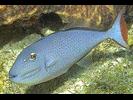 Sargassum Triggerfish - Triggerfish<br>(<i>Xanthichthys ringens</i>)