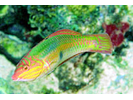 Clown Wrasse - Wrasse<br>(<i>Halichoeres maculipinna</i>)