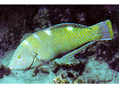 Puddingwife - Wrasse<br>(<i>Halichoeres radiatus</i>)