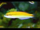 Rainbow Wrasse - Wrasse<br>(<i>Halichoeres pictus</i>)