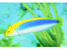 Yellowcheek Wrasse - Wrasse<br>(<i>Halichoeres cyanocephalus</i>)