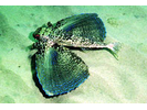 Flying Gurnard - Flying Gurnard<br>(<i>Dactylopterus volitans</i>)