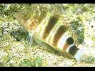 Redspotted Hawkfish - Hawkfish<br>(<i>Amblycirrhitus pinos</i>)