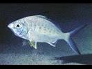 Yellowfin Mojarra - Mojarra<br>(<i>Gerres cinereus</i>)