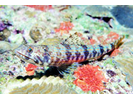 Sand Diver - Lizardfish<br>(<i>Synodus intermedius</i>)