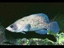 Greater Soapfish - Seabass<br>(<i>Rypticus saponaceus</i>)