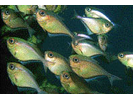 Glassy Sweeper - Sweeper<br>(<i>Pempheris schomburgkii</i>)