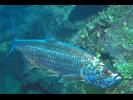 Tarpon - Tarpon<br>(<i>Megalops atlanticus</i>)