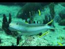 Sand Tilefish - Tilefish<br>(<i>Malacanthus plumieri</i>)