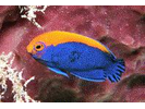 Flameback Angelfish - Angelfish<br>(<i>Centropyge aurantonotus</i>)
