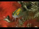 Threeline Basslet - Basslet<br>(<i>Lipogramma trilineatum</i>)