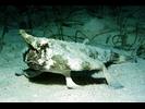 Shortnose Batfish - Batfish<br>(<i>Ogcocephalus nasutus</i>)
