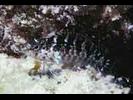 Barfin Blenny - Blenny - Labrisomids (<i>Malacoctenus versicolor</i>)