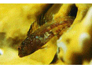 Unidentified Darkheaded Blenny Emblemariopsis spp. - Blenny - Pike, tube, and flag<br>(<i>Emblemariopsis spp.</i>)