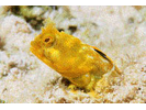 Papillose Blenny - Blenny - Pike, tube, and flag<br>(<i>Acanthemblemaria chaplini</i>)