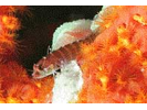 Ringed Shy Blenny Complex - Blenny - Labrisomids<br>(<i>Starksia hassi complex</i>)