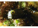 Spinyhead Blenny - Blenny - Pike, tube, and flag<br>(<i>Acanthemblemaria spinosa</i>)