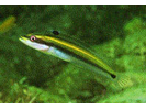 Wrasse Blenny - Blenny - Pike, tube, and flag<br>(<i>Hemiemblemaria simulus</i>)