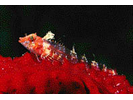 Roughhead Triplefin - Triplefin (Blenny)<br>(<i>Enneanectes boehlkei</i>)