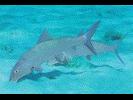 Bonefish - Bonefish<br>(<i>Albula vulpes</i>)