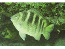 Night Sergeant - Damselfish<br>(<i>Abudefduf taurus</i>)