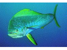 Mahi Mahi / Dolphin / Dorado - Dolphinfish<br>(<i>Coryphaena hippurus</i>)