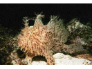 Striated Frogfish - Frogfish<br>(<i>Antennarius striatus</i>)