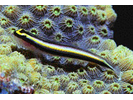 Cleaning Goby - Goby<br>(<i>Elacatinus genie</i>)