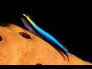 Sharknose Goby - Goby (<i>Elacatinus evelynae</i>)