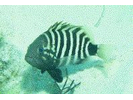 Misty Grouper - Seabass<br>(<i>Epinephelus mystacinus</i>)