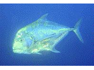African Pompano - Jack<br>(<i>Alectis ciliaris</i>)