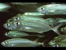 Bigeye Scad - Jack<br>(<i>Selar crumenophthalmus</i>)