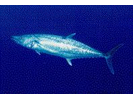 King Mackerel - Mackerel<br>(<i>Scomberomorus cavalla</i>)