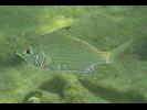 Silver Jenny - Mojarra<br>(<i>Eucinostomus gula</i>)