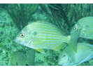Sea Bream - Porgy<br>(<i>Archosargus rhomboidalis</i>)