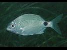 Silver Porgy - Porgy<br>(<i>Diplodus argenteus argenteus</i>)
