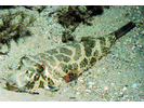Checkered Puffer - Puffer<br>(<i>Sphoeroides testudineus</i>)