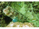 Striped Burrfish - Porcupinefish<br>(<i>Chilomycterus schoepfii</i>)