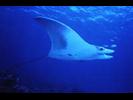 Oceanic Manta Ray - Manta<br>(<i>Mobula birostris</i>)