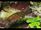 Candy Basslet - Basslet / Seabass<br>(<i>Liopropoma carmabi</i>)