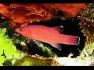 Cave Basslet - Basslet / Seabass<br>(<i>Liopropoma mowbrayi</i>)