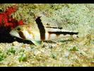 Tattler Bass - Seabass<br>(<i>Serranus phoebe</i>)
